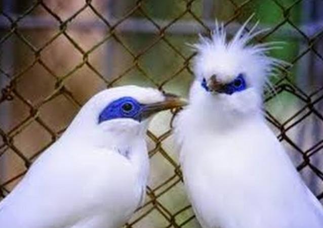 burung-indonesia-termahal